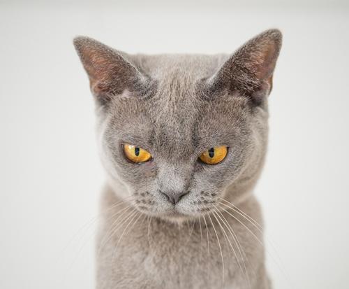 Een grijze kat die stuurs kijkt.